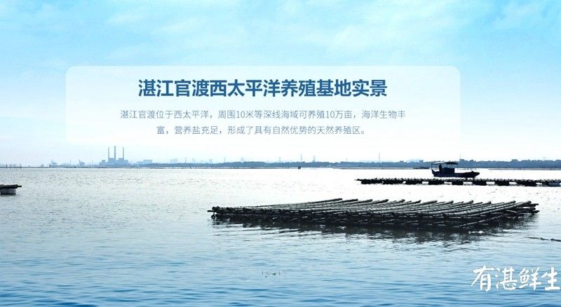 湛江生蚝批发|生蚝养殖场|湛江烤生蚝|净化蚝