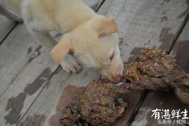 湛江生蚝批发|生蚝批发|生蚝养殖场|湛江烤生蚝|净化蚝|生蚝|官渡生蚝|刺身生蚝|鲜活生蚝|